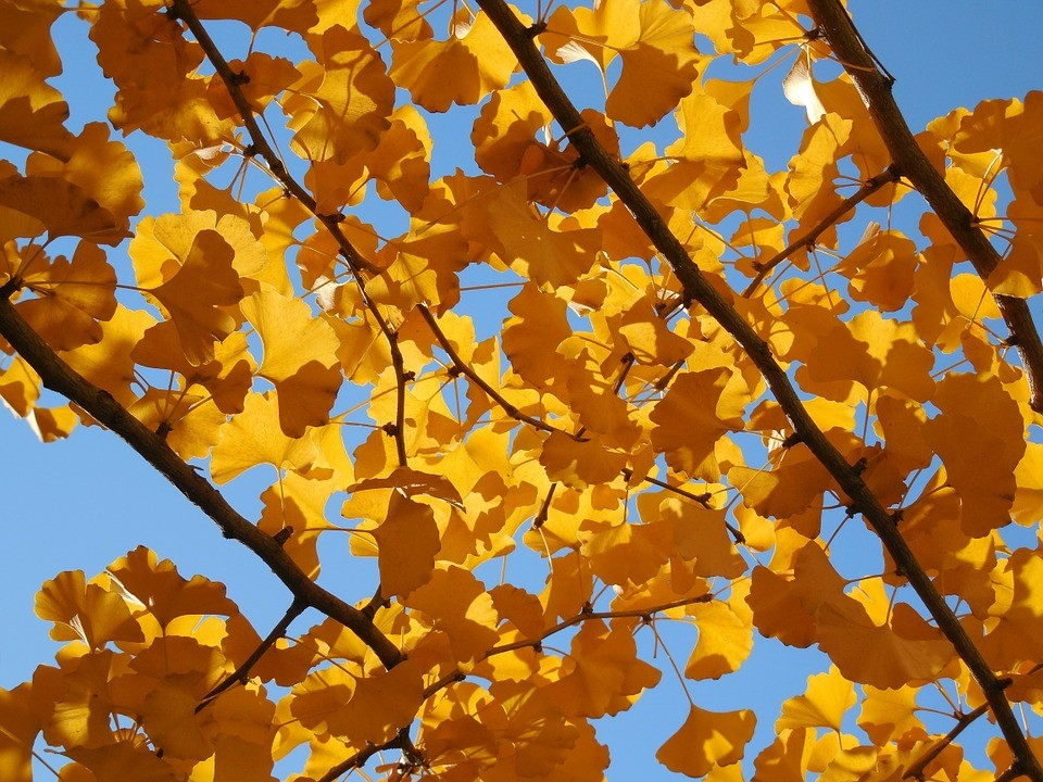 A very specific extract of golden leaf Ginkgo can help with side effects.